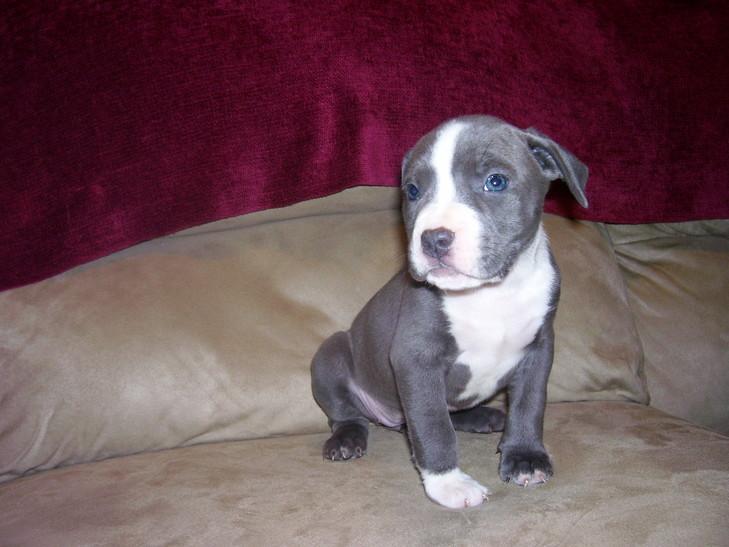 Blue Nose Pitbull Puppy New York Blue Nose Pitbull New York Home