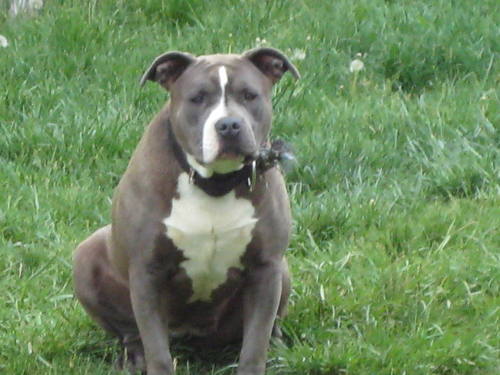 Pitbull Breeder In Long Island Ny